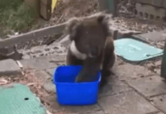 El koala llegó a una casa con mucha sed. Foto: Captura de video