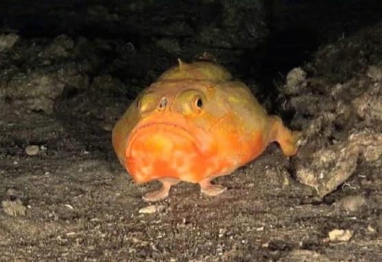 El pez con el que se encontró el buzo en Puerto Rico. Foto: National Oceanic and Atmospheric