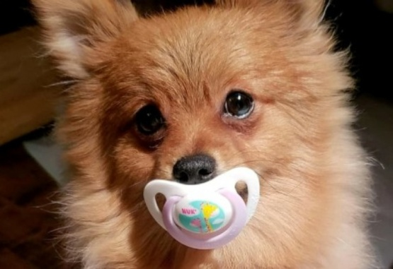 Gizmo, el perro que usa chupete y enternece en la web. Foto: Metro.co.uk