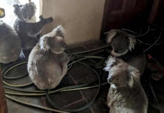 Koalas en el interior de una casa luego de ser rescatados. Foto: Adam Mudge