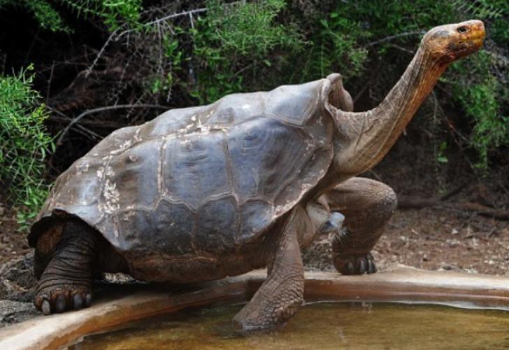 Diego, la tortuga que ayudó a salvar a su especie. Foto: Gentileza Daily Mail