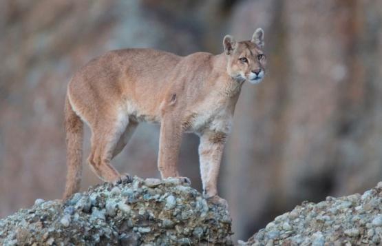 Puma en la Patagonia.