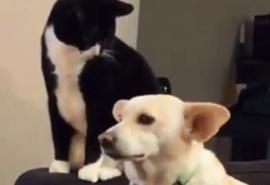 Un gato quiso jugar con las orejas de un perro y todo terminó mal