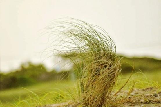 Pasto azotado por el viento.