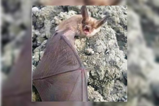 Murciélago encontrado.