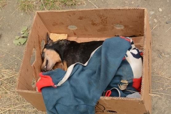 Uno de los perros envenenados en la zona céntrica de Río Gallegos.