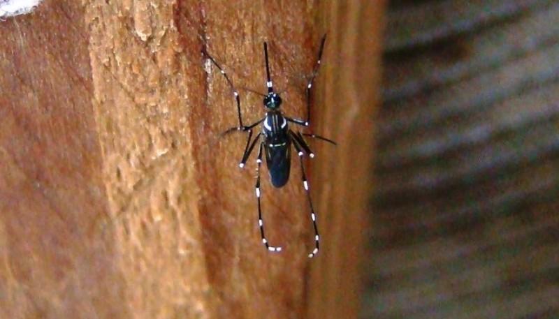 Mosquito Aedes aegypti.