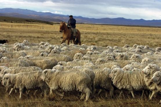 La buena calidad de la hacienda patagónica, clave para la exportación.