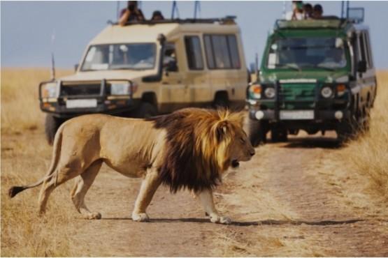 Observación de leones en Kenia, realizada sobre vehículos.