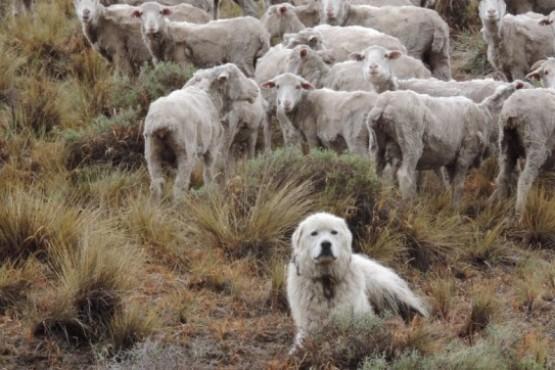 Perro pastor y ovejas (Foto INTA)
