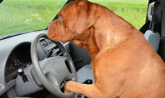 Le quiso enseñar a manejar a su perro y terminó detenido