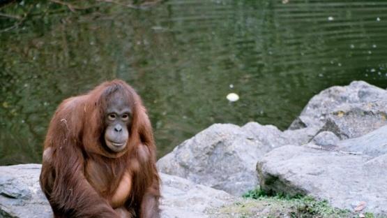 Un orangután aprendió a lavarse las manos durante la pandemia