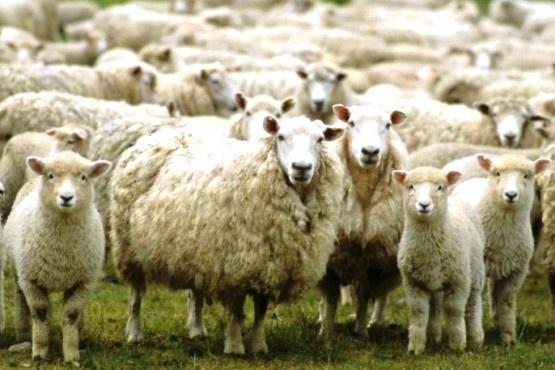 El derrumbe del precio de la lana, otro dolor de cabeza para el campo. (Archivo).