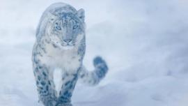 Captan por primera vez en años al leopardo de las nieves