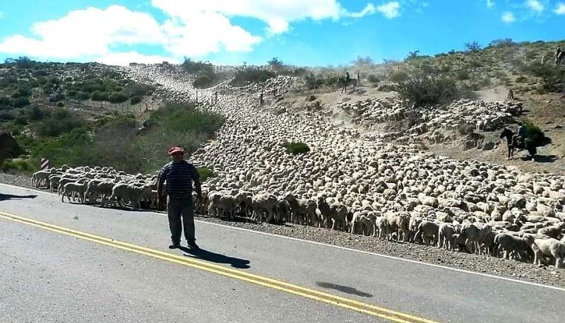 """""""En un año normal salen del circuito entre 100 y 150 mil ovejas al frigorífico"""""""
