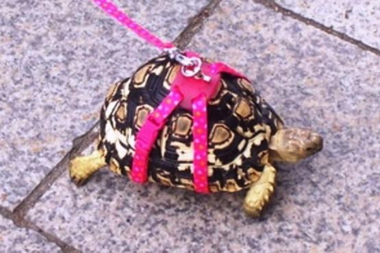 Una abuela fue multada por sacar a pasear a su tortuga