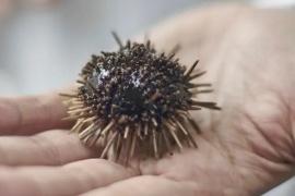 Científicos hallaron una molécula en erizos de mar que podría combatir la pandemia