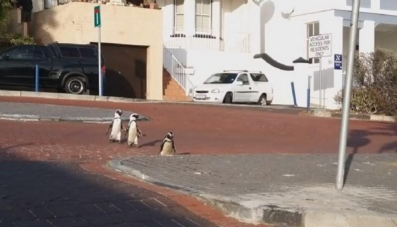 Pingüinos en las calles.