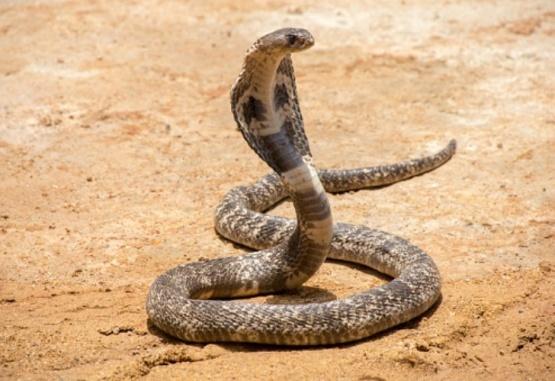 Un hombre intentó librarse de una serpiente venenosa con una arriesgada maniobra