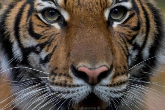 Coronavirus en EEUU: se contagiaron cinco tigres y tres leones en un Zoo