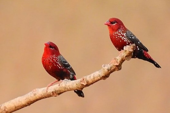 El increíble parecido entre unas aves y las fresas que se volvió viral