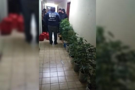 Descubren un invernadero de droga en un departamento