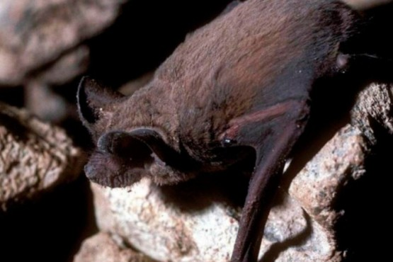 Dos gatos cazaron un murciélago con rabia