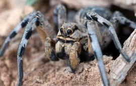Alarma por las arañas lobo: se volvieron caníbales