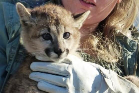 Encontraron un puma en plena ciudad de El Calafate