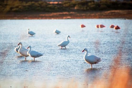 Considerable aumento de Cisnes Coscoroba en nuestros espejos de agua