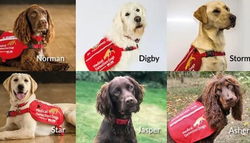 """""""Superseis"""" los perros que están siendo entrenados para detectar el coronavirus"""