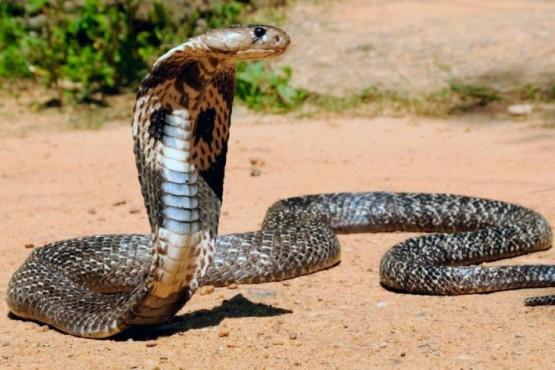 Asesinó a su esposa con una cobra venenosa mientras dormía