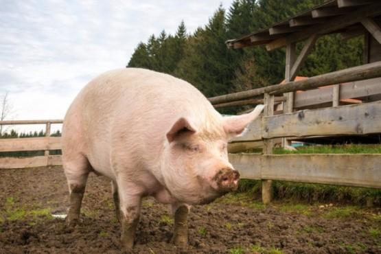 Robaron y descuartizaron una chancha preñada en una granja