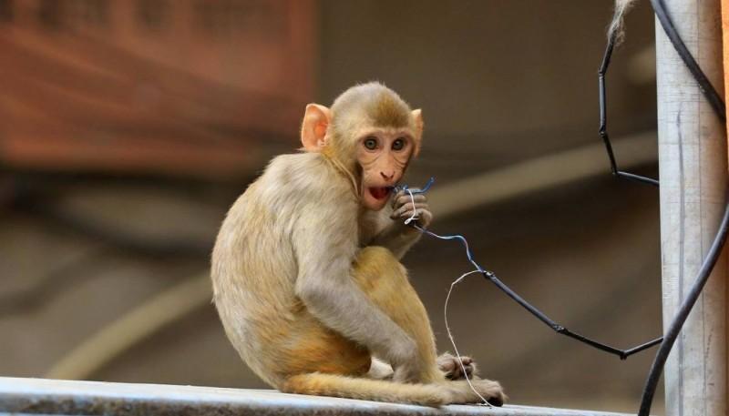 Unos monos huyeron con muestras de COVID-19 tras atacar a un técnico de laboratorio