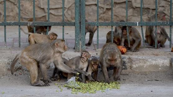 Monos roban muestras de pacientes ingresados por Covid-19 en un hospital