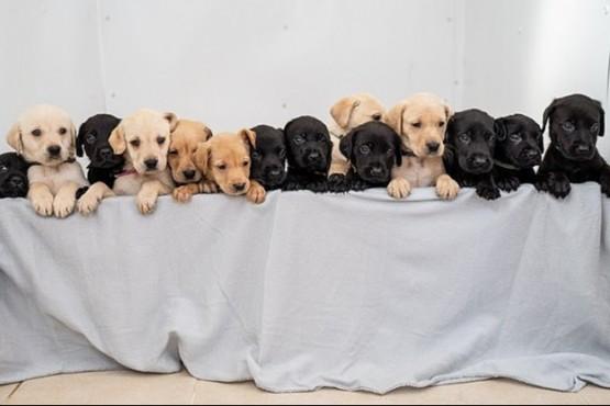Una labradora dio a luz 14 cachorritos y rompió el récord de dulzura