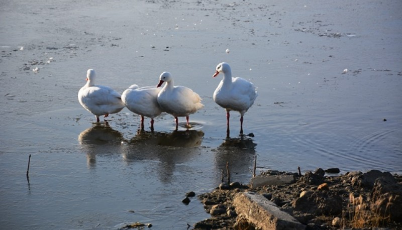 Cisnes en la laguna (Foto: C.Robledo).