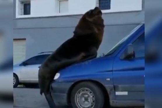 Un lobo marino se subió a un auto en Mar del Plata