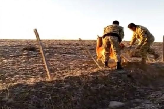 La División de Operaciones Rurales rescató a un guanaco
