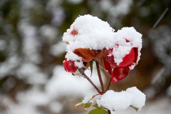 Flor tapad de nieve (Foto: F.Capadona).