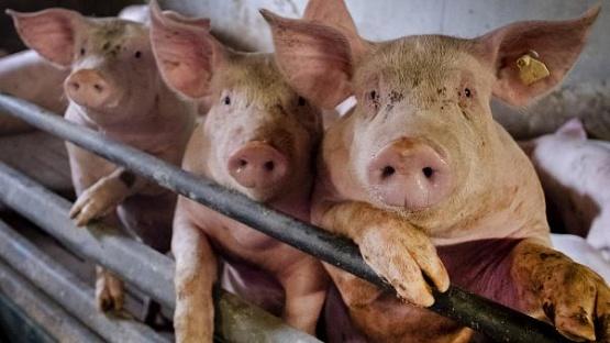 Nueva cepa de la gripe porcina.