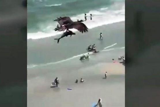 El espectacular video de un águila cazando un tiburón