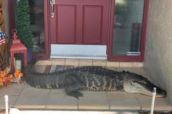 Una familia encontró un cocodrilo manco de tres metros en la puerta de su casa