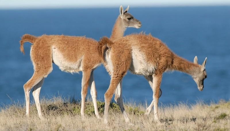 Turismo detectó a cazadores de guanacos en Península Valdés