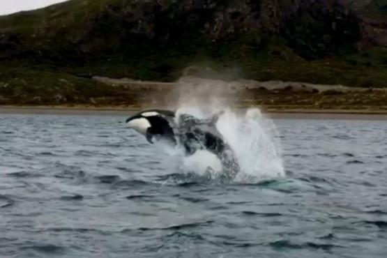 Llegaron las orcas a Ushuaia y sorprendieron por su cercanía