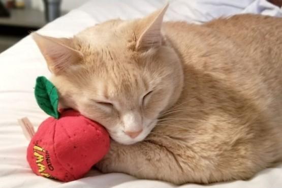 La increíble dieta de un gato con sobrepeso que revolucionó las redes
