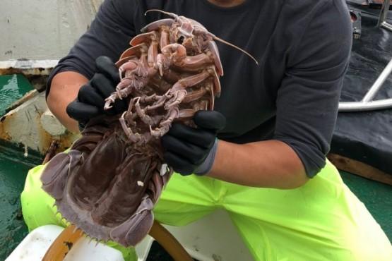 """Científicos marinos encontraron una nueva especie de """"cucaracha marina"""""""
