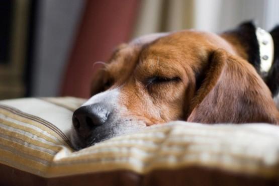 Se reveló el motivo por el que los perros rascan la cama antes de dormir
