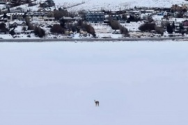 Apareció un guanaco caminando en la Bahía Redonda congelada
