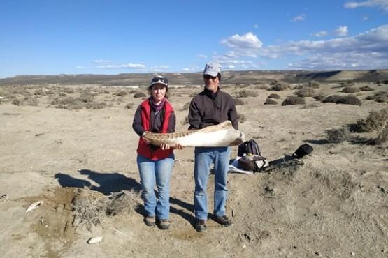 Analizan restos óseos de cetáceos hallados en Monte Loayza